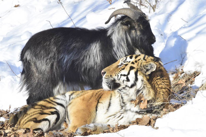 Russie : La couverture médiatique de l'amitié entre un bouc et un tigre qualifiée de « propagande gay » par un avocat