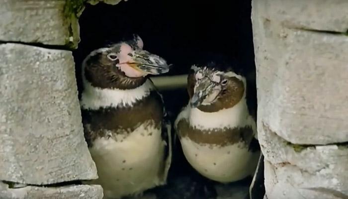 Au Parc Zoologique de Bremerhaven, un couple de manchots gays adopte un œuf rejeté par le reste du groupe